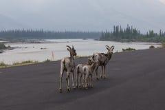 Wilde geiten op een weg Stock Foto