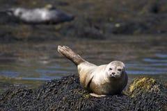 Wilde geläufige Dichtungs-Insel von Skye Lizenzfreie Stockfotos