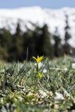 Wilde gelbe Blume hoch oben in den Bergen stockbild