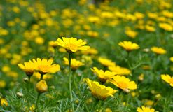 Wilde gelbe Blumen Lizenzfreie Stockfotografie