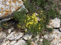 Wilde gelbe Blumen auf einer Küste schaukelt Stockbild
