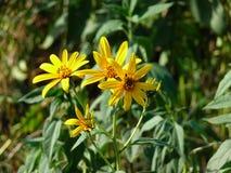 Wilde gelbe Blumen in der Sonne Lizenzfreies Stockfoto