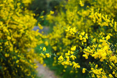 Wilde gelbe Blumen unter dem Grün Stockbild
