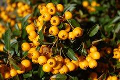 Wilde gelbe deutsche Beeren Stockfotografie