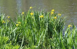 Wilde gelbe Iris Iris pseudacorus Eingeborenen zu Illinois nahe einem Teich Lizenzfreies Stockfoto
