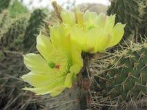 Wilde gelbe Kaktus-Blume Stockfotos