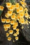 Wilde gelbe Orchideenblumen Lizenzfreie Stockbilder