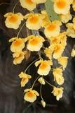 Wilde gelbe Orchideenblumen Stockfotografie