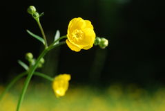 Wilde gele bloem Royalty-vrije Stock Foto's