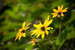 Wilde gele bloemen Royalty-vrije Stock Foto's