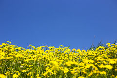 Wilde gele bloemen en blauwe hemel Stock Foto