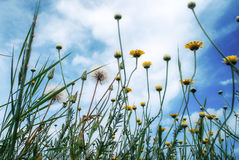 Wilde gele bloemen en paardebloemen en de blauwe hemel en de wolkenmening van hierboven Royalty-vrije Stock Foto's