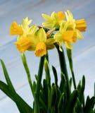 Wilde Gele Gele narcissen Royalty-vrije Stock Afbeelding