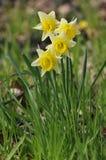 Wilde Gele narcis - pseudonarcissus van Narcissen Royalty-vrije Stock Afbeeldingen