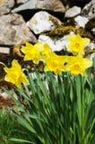 Wilde gele narcissen (pseudonarcissus van Narcissen) Royalty-vrije Stock Fotografie