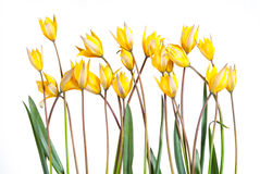 Wilde gele tulpenbloem Royalty-vrije Stock Afbeeldingen