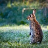 1 wilde gemeenschappelijke die konijn (Oryctolagus-cuniculus) zitting op achterste in een weide door gras en dauw wordt omringd Royalty-vrije Stock Afbeeldingen