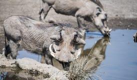 Wilde Gemeenschappelijke Wrattenzwijn & x28; Phacochoerus africanu& x29; bij een Waterpoel Royalty-vrije Stock Afbeeldingen