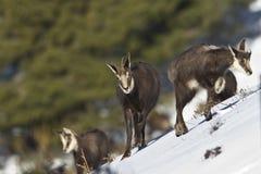 Wilde gemzen die in de sneeuw, het Juragebergte, Frankrijk lopen Stock Foto