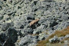 Wilde gemzen in het rotsachtige overzees royalty-vrije stock afbeelding