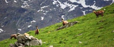 Wilde gemzen op alpen Stock Foto
