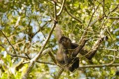 Wilde Geoffreys-Klammeraffe, die vom Baum hängt Lizenzfreie Stockfotos