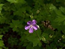 Wilde Geranium in Donker Hout Royalty-vrije Stock Afbeeldingen