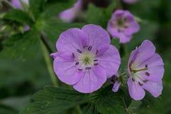 Wilde Geranium in het natuurlijke plaatsen stock foto