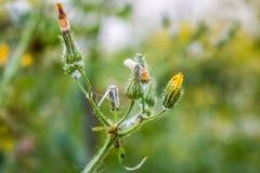 Wilde geschlossene Chrysantheme Stockfoto