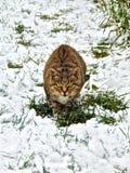 Wilde gestreifte Farbe der schönen und bunten Katze mit grünen Augen auf dem Gras, im Schnee in der Schmutzart Lizenzfreie Stockfotografie