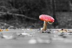 Wilde giftige paddestoel die in kleur wordt geïsoleerda Royalty-vrije Stock Fotografie