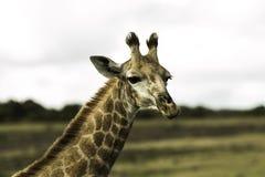 Wilde Giraf Stock Afbeeldingen