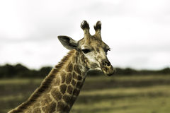 Wilde Giraffe Stockbilder