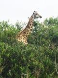 Wilde Giraffe, die in Addo Parkland Woodland In South Afrika einzieht Lizenzfreie Stockbilder