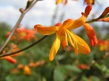 Wilde Gladioli wachsen auf dem Seeufer nahe Craighouse auf Jura Lizenzfreie Stockbilder