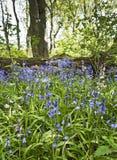 Wilde Glockenblumen in einem Northumberland, Großbritannien, Holz Stockfotografie