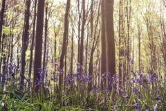 Wilde Glockenblumen in einem Wald stockbilder