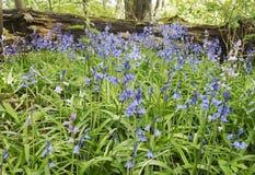 Wilde Glockenblumen sind möglicherweise ein Anzeichen über altes Waldland stockbilder