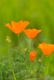 Wilde Mohnblumen in der Blüte Stockfotografie