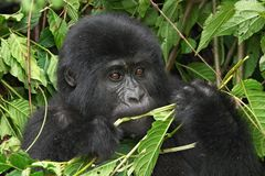 Wilde gorilla royalty-vrije stock foto's