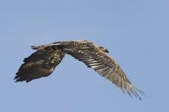 Wilde gouden adelaar Royalty-vrije Stock Afbeelding
