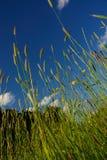 Wilde Gräser, die im Wind durchbrennen Stockbild