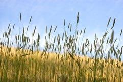 Wilde grassen Stock Afbeeldingen