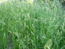 Wilde Grassen Stock Afbeelding