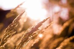 Wilde grassen in een bos bij zonsondergang in mooie dag Royalty-vrije Stock Foto