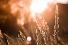 Wilde grassen in een bos bij zonsondergang in mooie dag Royalty-vrije Stock Foto's