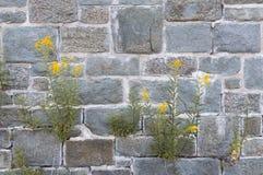 Wilde grassen met gele bloemen die uit spleten of barsten over oude rotsmuren voortkomen royalty-vrije stock afbeeldingen
