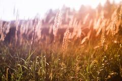 Wilde grassen in zonsondergang Stock Afbeelding