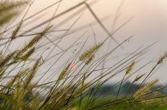 Wilde grassen in zonsondergangtijd Royalty-vrije Stock Afbeeldingen