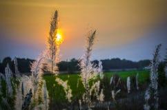 Wilde grassen in zonsondergangtijd Stock Afbeelding
